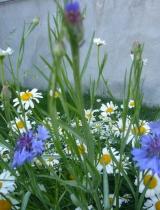 Rudzupuķe, zilā